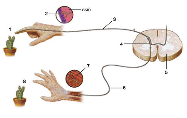 Reflex arc quiz spolem reflex arc quiz reflex ccuart Image collections